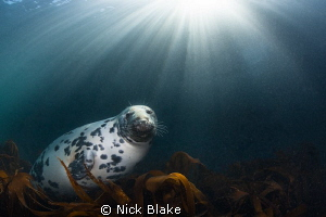 Atlantic Grey Seal and Sun Rays, Lundy Island by Nick Blake